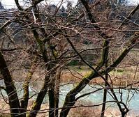 蕾が膨らんできました - 金沢犀川温泉 川端の湯宿「滝亭」BLOG