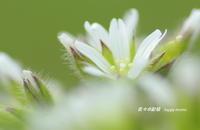 春の花たちⅢ - 花々の記憶  happy momo