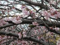 今日の散歩3月24日早咲きの桜が見頃です - sakura81 日々一歩づつ