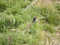 キジ、浅川 - 浅川野鳥散歩