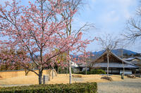 京都の桜2017 圓光寺の河津桜 - 花景色-K.W.C. PhotoBlog