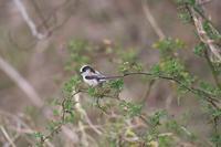 エナガ - 瑞穂の国の野鳥たち