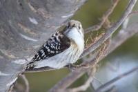 コゲラほか - 今日の鳥さんⅡ