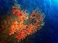 オノミチサンゴ 4    葉山権太郎岩沖 - 葉山の美味しいダイビング生活
