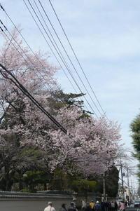 川越散歩3月25日中院の枝垂桜見頃 - 川越散歩