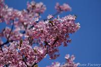 富山散歩~県東部383~今年も河津桜が咲きました(後編) - Tomの一人旅~気のむくまま、足のむくまま~