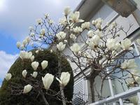 路傍の花、樹々の鳥(152)~辛夷の花も咲く~ - 大屋地爵士のJAZZYな生活