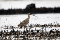 ホウロクシギ② - 私の鳥撮り散歩
