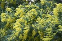 17年春の自然(22)…黄色(1) - ふぉっしるもしてみむとてするなり
