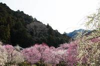 「木下しだれ梅園」さん 002 - 感動模写Ⅱ