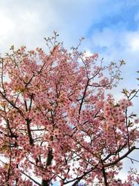 桜咲く。。。清らに光さす日曜日。。。✯*☪*:・゚*† - 代官山だより♪
