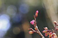 桜 - 都忘れと忘れな草