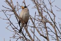 コイカル不在 - 野鳥写真日記 自分用アーカイブズ