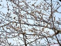 賀茂川の桜2017年3月29日 - LLC徒然