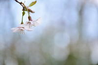 *豆桜* - 今日もカメラを手に・・・♪