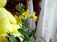 ☆キャベツ!咲きましたよ・芯の水栽培☆ - ガジャのねーさんの  空をみあげて☆ Hazle cucu ☆