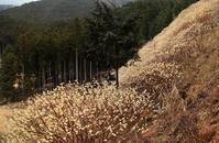 春の訪れを知らせるミツマタ - 田舎の自然