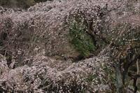 京都御苑桜20173/30 - 写真部