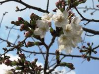 やっと咲きだした夙川の桜 - lavie(ラヴィ)のつれづれ