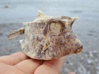 縞海雀 - 今日も渚で日が暮れて
