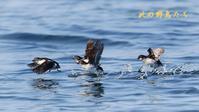 コウミスズメ - 北の野鳥たち