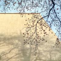桜、もうすぐ - ★☆みなさんぽんちくわ2☆★