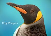 キングペンギン:King Penguin - 動物園の住人たち写真展(はなけもの写眞館)