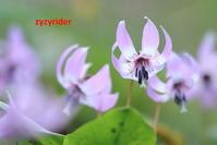 カタクリの花(その4) - ジージーライダーの自然彩彩