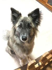 新年度 - 琉球犬mix白トゥラーのピカ