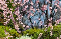 水戸市常照寺のしだれ桜 - 写瞬間