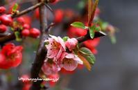 雨降る中、東洋錦(木瓜) - 花と風の薫り