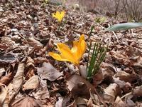 春の使者♪ - 風路のこぶちさわ日記