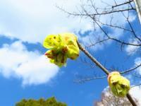 土佐ミズキと日向ミズキ、ウグイスカグラも咲いてました♪ - 花追い日記