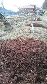 ブルーベリー苗の植付け - 初めてのブルーベリー栽培記