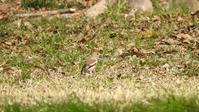 野川自然観察園 3/30 - 山と鳥を愛するアナパパ