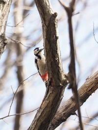 林のアカゲラ - コーヒー党の野鳥と自然 パート2