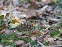 くさ原のアオジとカシラダカ - コーヒー党の野鳥と自然 パート2