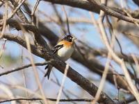 春先のアトリ - コーヒー党の野鳥と自然 パート2