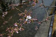 京都・春の足音 - 写真の散歩道