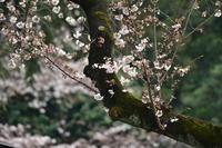 高遠小彼岸桜 - Taro's Photo