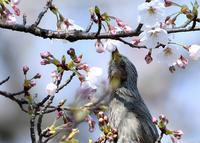 桜の季節 - 旅のかほり