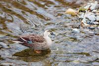 ヒヨドリと桜 - marimiya 野鳥撮影記録