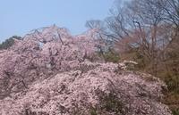 2017、櫻、咲く。-参:満開、小石川後楽園 - デハ712のデジカメ日記2017