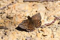 春のセセリ・・・ミヤマセセリ - 蝶と自然の物語