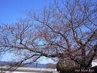 賀茂川の桜の様子2017年4月2日 - LLC徒然