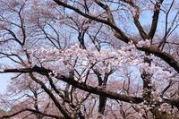 小金井公園 - 日々徒然に・・・