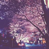 アークヒルズの桜。 - ななるいるぎ