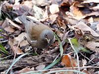 湿地にいたシロハラ - コーヒー党の野鳥と自然 パート2