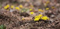 ビタミンカラーのフキタンポポ(キク科フキタンポポ属) - 上州自然散策2