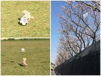17年4月4日グランドまで頑張りました(笑) - 旅行犬 さくら 桃子 あんず 日記
